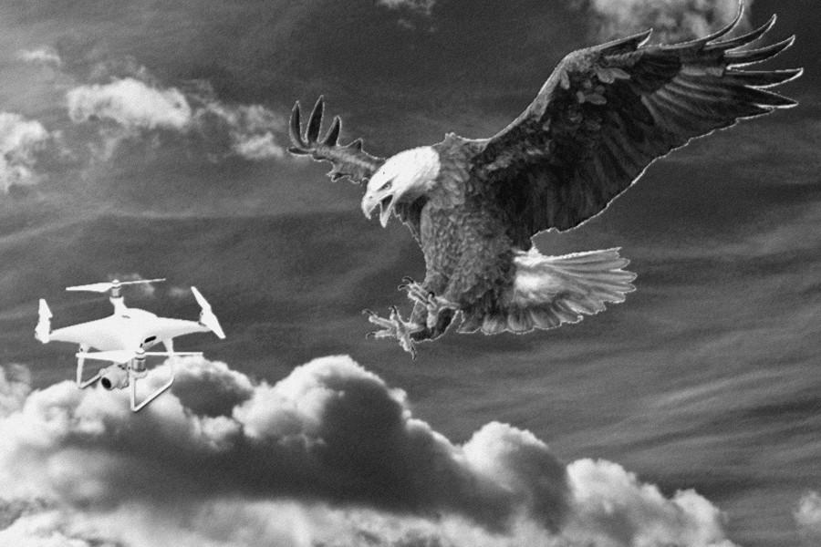 Águila atacando dron